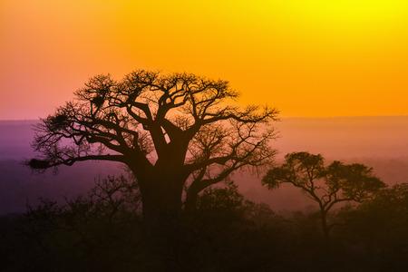 南アフリカのバオバブの木アオイ科の正貨 Adansonia digitata 家族 写真素材 - 75759927