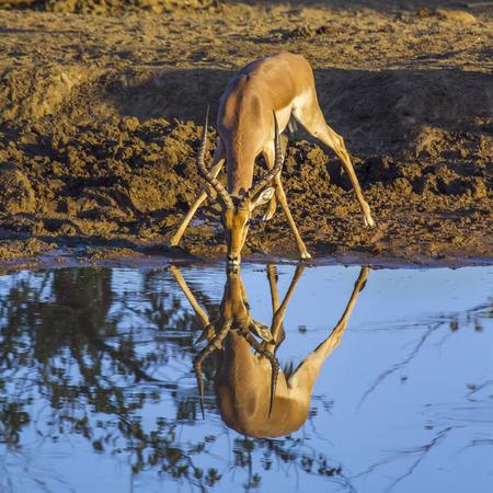 hoofed: Common impala in  South Africa; Specie Aepyceros melampus family of bovidae