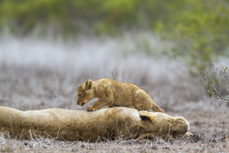 African lion in Kruger National Park, South Africa; Specie Panthera leo family of felidae