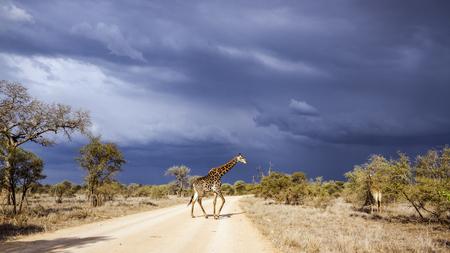 기린 크루 거 국립 공원, 남아 프리 카 공화국; 종 Giraffa 기린 자리 가족 Giraffidae 스톡 콘텐츠