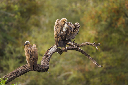 Cape vulture in Kruger National Park, South Africa; Specie Gyps coprotheres family of Accipitridae Stock Photo