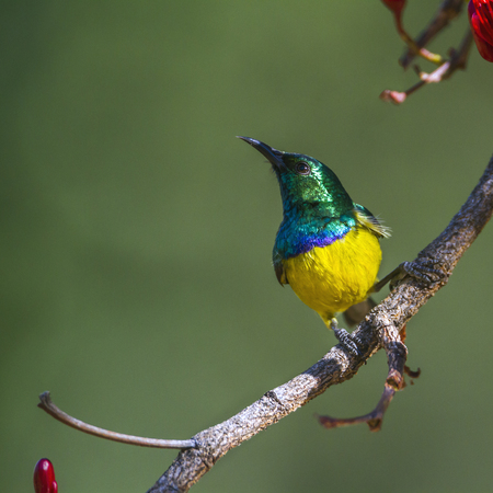 Collared sunbird in Kruger National Park, South Africa; Specie Hedydipna collaris family of Nectariniidae