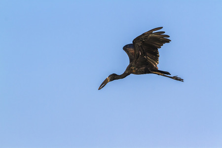 African openbill in Kruger National Park, South Africa; Specie Anastomus lamelligerus family of Ciconiidae Stock Photo