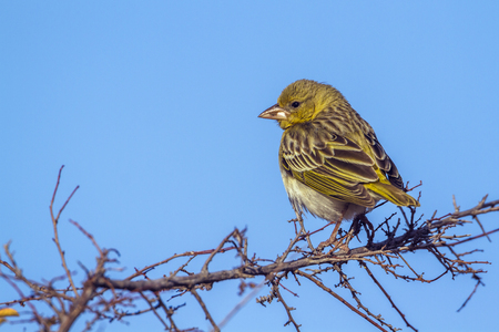Yellow-fronted canary in Kruger National Park, South Africa; Specie Crithagra mozambica family of Fringillidae