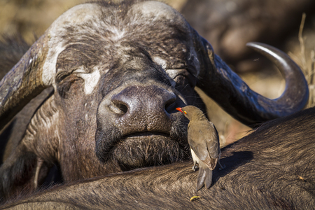 African buffalo in Kruger National Park, South Africa; Specie Syncerus caffer and Buphagus erythrorhynchus