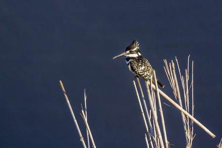Pied kingfisher in Kruger National Park, South Africa; Specie Ceryle rudis family of Alcedinidae Stock Photo