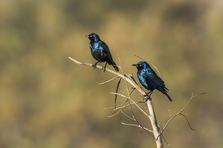 Greater blue-eared glossy-starling in Kruger National Park, South Africa; Specie Lamprotornis australis family of Sturnidae
