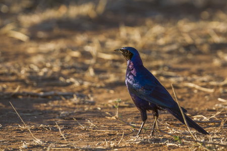 zimbabwe: Meves glossy-starling in Kruger National Park, South Africa; Specie mevesii family of Sturnidae Lamprotornis