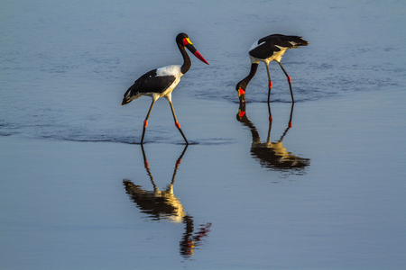 Saddle-billed stork in Kruger National Park, South Africa; Specie Ephippiorhynchus senegalensis family of Ciconiidae
