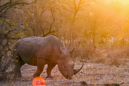 Southern white rhinoceros in the Kruger National Park, South Africa; Specie Ceratotherium simum simum family of Rhinocerotidae Reklamní fotografie