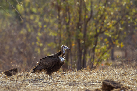 Hooded vulture in Kruger National Park, South Africa; Specie Necrosyrtes monachus family of Accipitridae Stock Photo