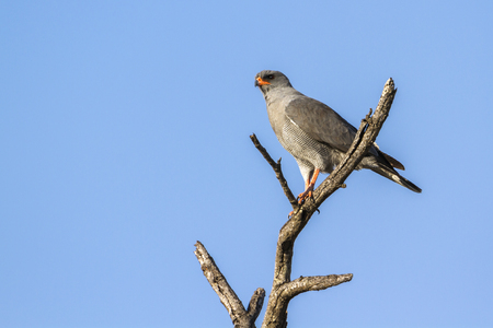 Dark-chantin goshawk in Kruger National Park, South Africa; Specie Melierax metabates family of Accipitridae Stock Photo