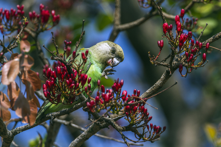 psittacidae: Brown-headed parrot in Kruger National Park, South Africa; Specie cryptoxanthus Poicephalus family of Psittacidae
