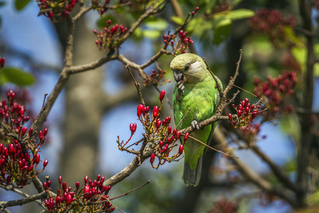Brown-headed parrot in Kruger National Park, South Africa; Specie cryptoxanthus Poicephalus family of Psittacidae