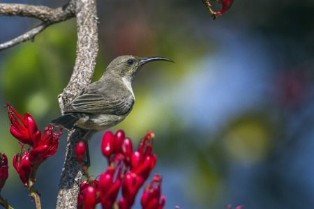 Purple-banded Sunbird in Kruger National Park, South Africa; Specie Cinnyris bifasciatus family of Nectariniidae