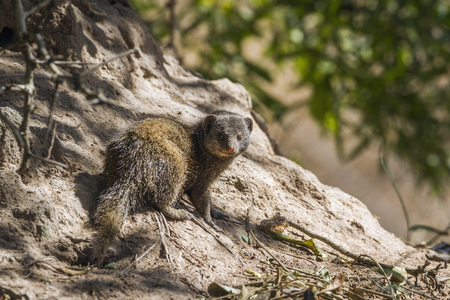 enano: Common dwarf mongoose in Kruger National Park, South Africa; Specie Helogale parvula family of Herpestidae Foto de archivo