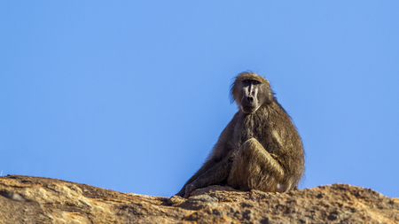 Chacma baboon in Kruger National Park, South Africa; Specie Papio ursinus family of Cercopithecidae