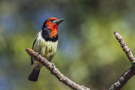 Black-collared barbet in Kruger National Park, South Africa; Specie Lybius torquatus family of Ramphastidae Stock Photo