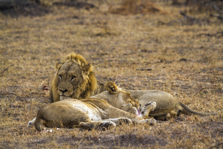zimbabwe: African lion in Kruger National Park, South Africa; Specie Panthera leo family of felidae