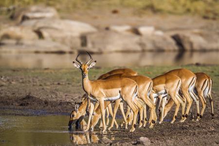 一般的なインパラのクルーガー国立公園、南アフリカ共和国;ウシ科の正貨 Aepyceros メラムプース家族 写真素材
