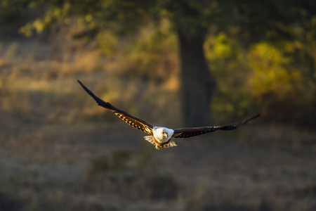 African fish eagle, South Africa; Specie Haliaeetus vocifer family of Accipitridae Stock Photo