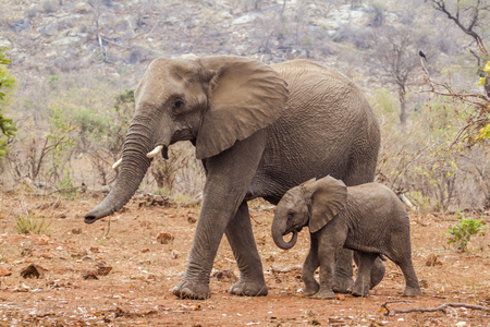 African bush elephant, South Africa; Specie Loxodonta africana family of Elephantidae
