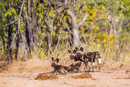 African wild dog, South Africa; Specie Lycaon pictus family of Canidae