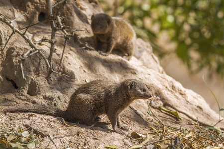 Common dwarf mongoose, South Africa; Specie Helogale parvula family of Herpestidae