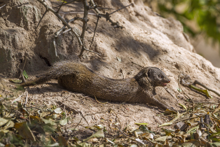 Common dwarf mongoose in Kruger National Park, South Africa; Specie Helogale parvula family of Herpestidae Stock Photo