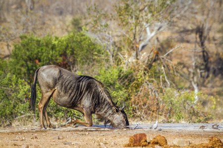 taurinus: Blue wildebeest, South Africa; Specie Connochaetes taurinus family of Bovidae