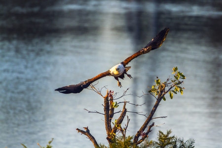 African fish eagle in Kruger National Park, South Africa; Specie Haliaeetus vocifer family of Accipitridae