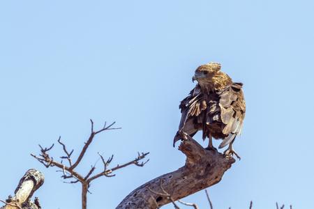 Bateleur Eagle Juvenile in Kruger National Park, South Africa; Specie Terathopius ecaudatus family of Accipitridae Reklamní fotografie
