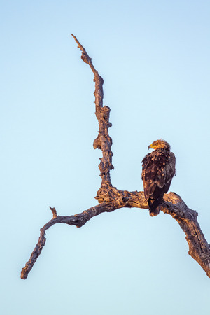 Tawny eagle in Kruger National Park, South Africa; Specie Aquila rapax family of Accipitridae Stock Photo