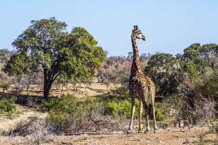 Giraffe in Kruger National Park, South Africa; Specie Giraffa camelopardalis family of Giraffidae