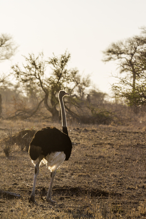 wildlife preserve: African ostrich in Kruger National Park, South Africa; Specie Struthio camelus family of Struthionidae