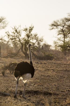 iluminado a contraluz: Avestruz africano en el Parque Nacional Kruger, Sudáfrica; Especie Struthio camelus familia de Struthionidae Foto de archivo