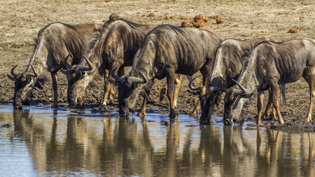 taurinus: Blue wildebeest in the Kruger National Park, South Africa; Specie Connochaetes taurinus family of bovidae Stock Photo