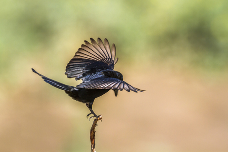 Fork-tailed drongo in Kruger National Park, South Africa; Specie Dicrurus Adsimilis family of Dicruridae Stock Photo