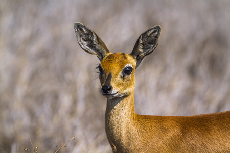 zimbabwe: Common duiker in Kruger National Park, South Africa; Specie Sylvicapra grimmia family of bovidae