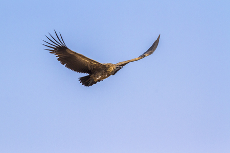 White-backed Vulture in Kruger National Park, South Africa; Gyps africanus Specie family of Accipitridae