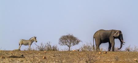 zimbabwe: African bush elephant and plains zebra in Kruger National Park, South Africa; Specie Equus quagga burchellii and Loxodonta africana