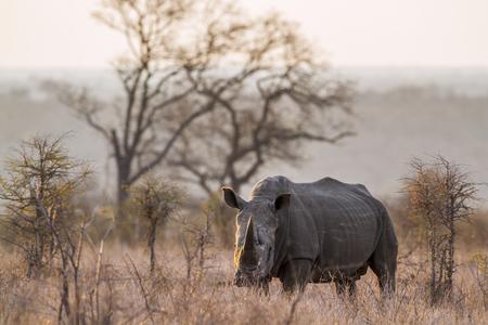 zimbabwe: Southern white rhinoceros in the Kruger National Park, South Africa; Specie Ceratotherium simum simum family of Rhinocerotidae Foto de archivo