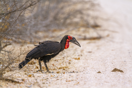Southern ground hornbill in the Kruger National Park, South Africa; Specie bucorvus leadbeateri family of Bucerotidae