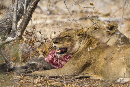 African lion in the Kruger National Park, South Africa; Specie Panthera leo family of felidae