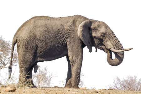 zimbabwe: African bush elelphant isolated in white background
