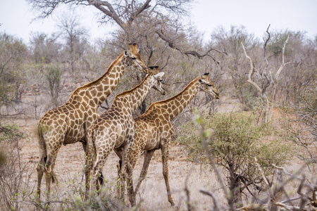 Giraffe in the Kruger National Park, South Africa; Specie Giraffa camelopardalis family of Giraffidae