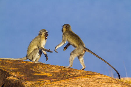 Vervet monkey in the Kruger National Park, South Africa; Specie Chlorocebus pygerythrus family of Cercopithecidae Stock Photo