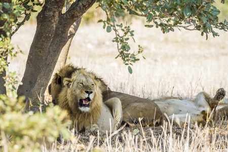 African lion in the Kruger National Park, South Africa; Specie Panthera leo family of Felidae Stock Photo