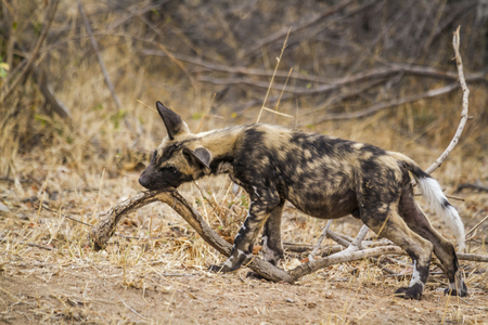 African wild dog in the Kruger National Park, South Africa; Specie Lycaon pictus family of Canidae