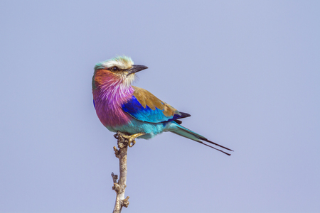 Lilac-breasted roller in the Kruger National Park, South Africa; Specie Coracias caudatus family of Coraciidae